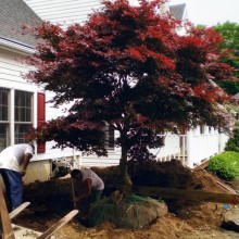 This very lovely, mature Japanese Maple had overgrown its space at a home in Putnam Valley, NY. At the homeowner's request we hand dug the tree, burlapped and tied the root ball and, with the help of machinery, lifted and successfully transplanted it to another spot in the owners yard.